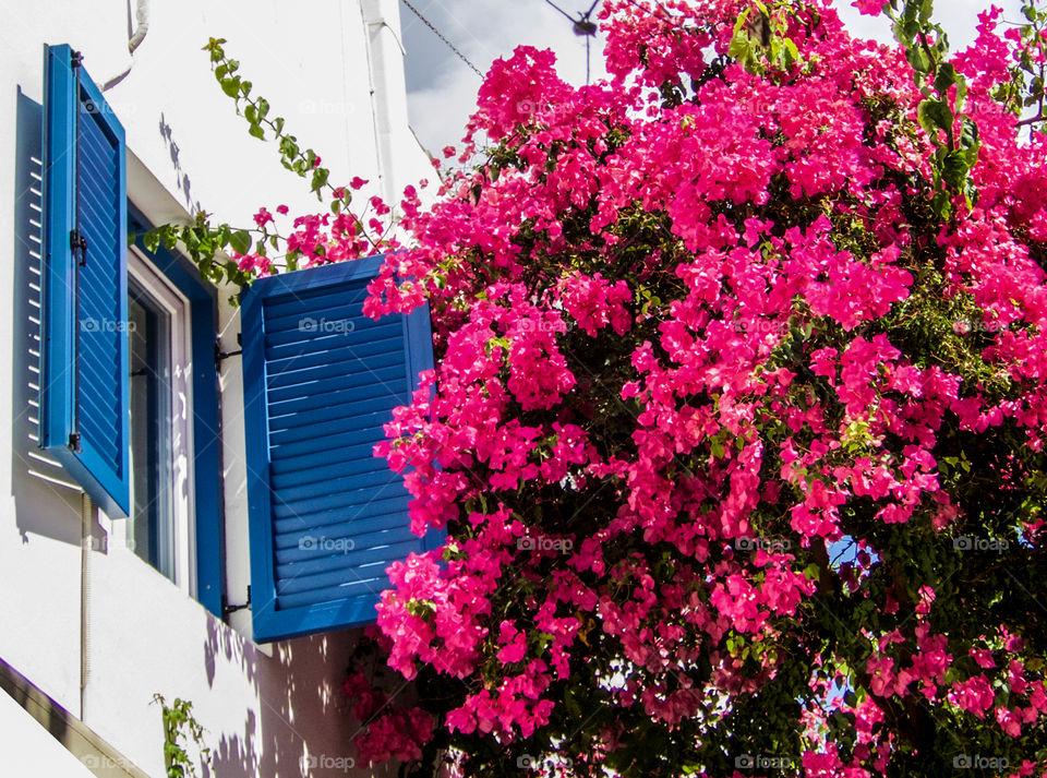 Pink flowers growing by blue window