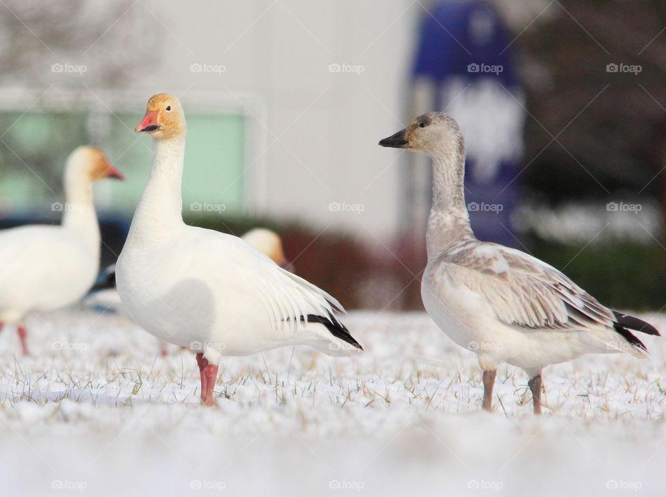 Snow geese