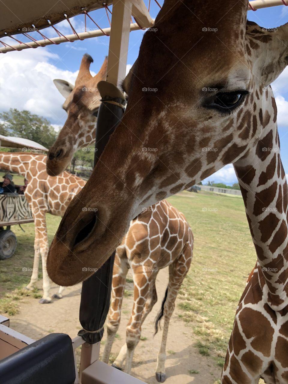 Up close giraffe