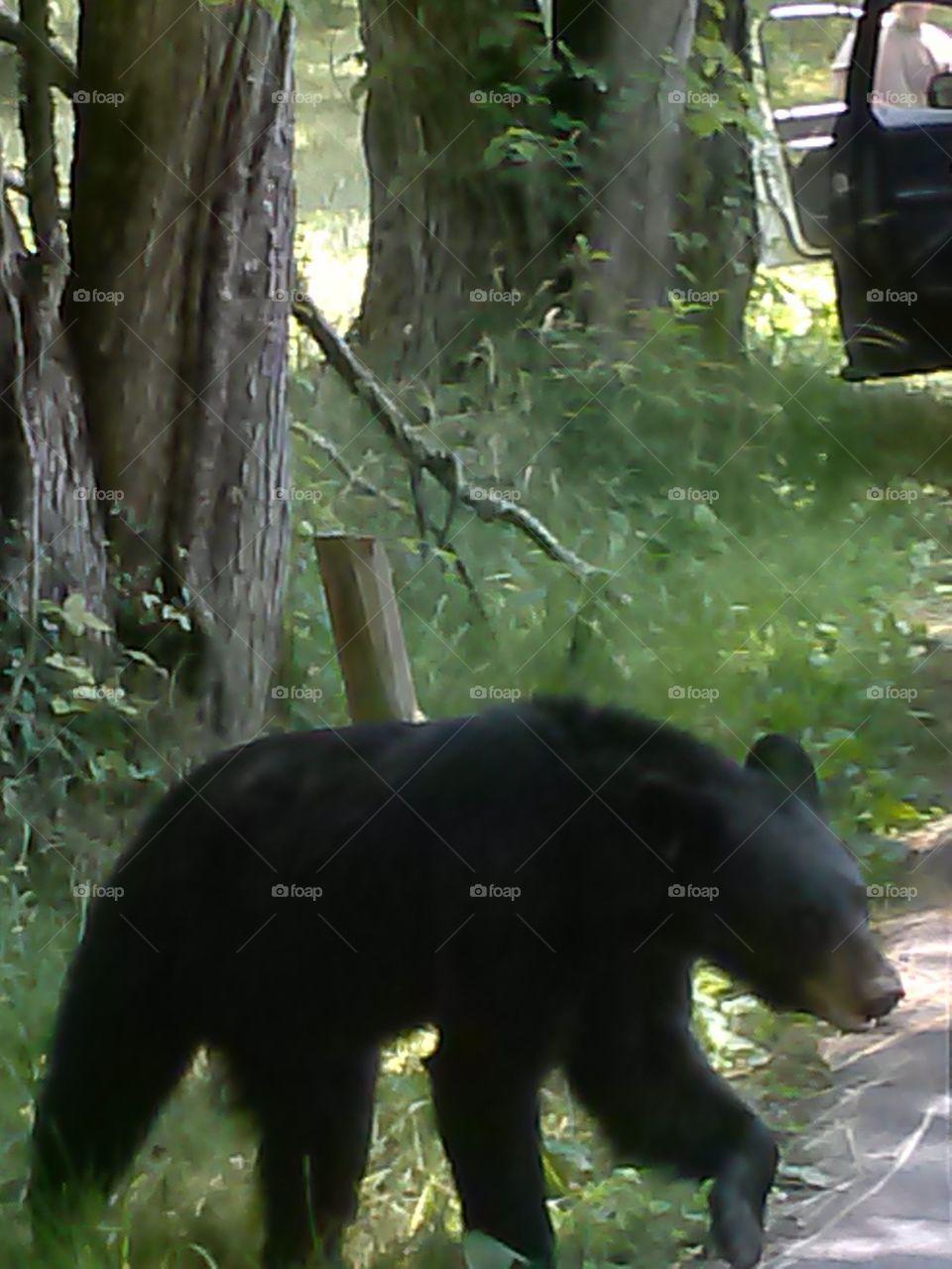 baby black bear cubs