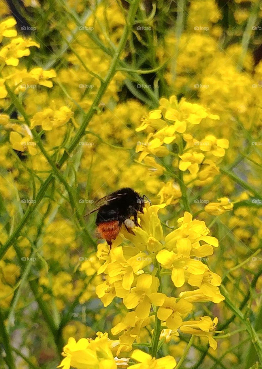 hummel bee insekt flower