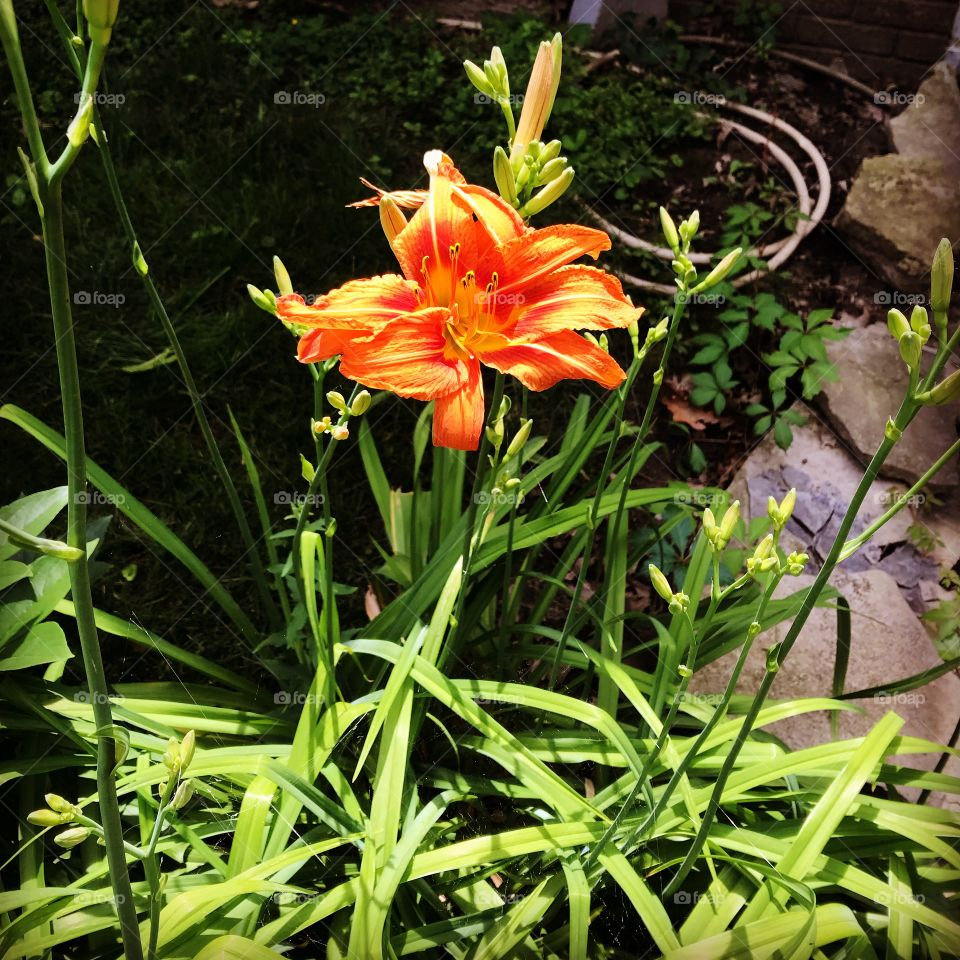 Orange tiger lily bloom flower