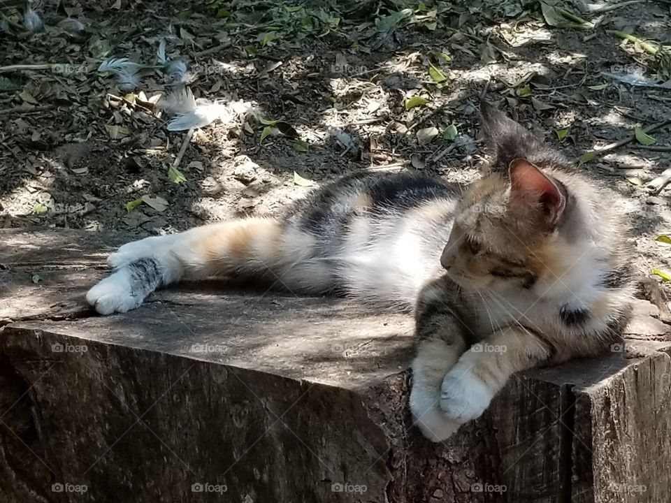 Calico cat in a tree stump