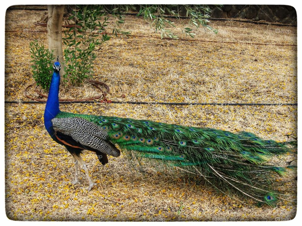 Peacock - Park