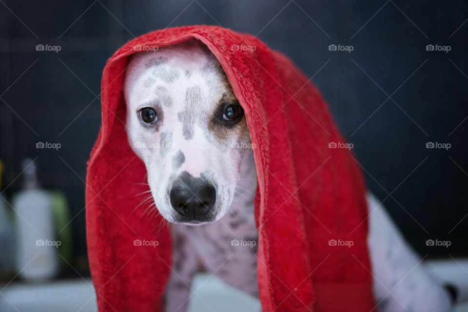 Close-up of a dog with a towel on her head