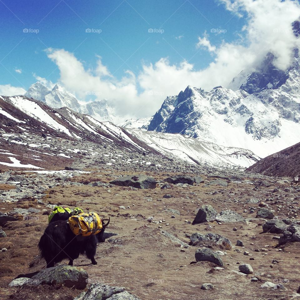 yak. on the way to everest base camp