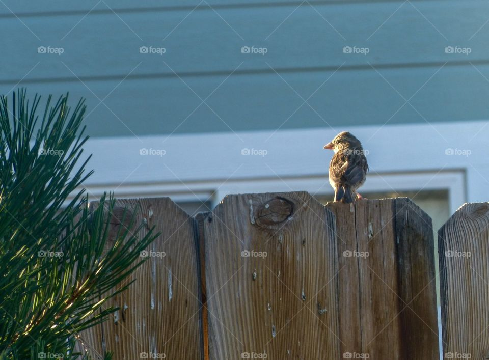 Sparrow perching on fence
