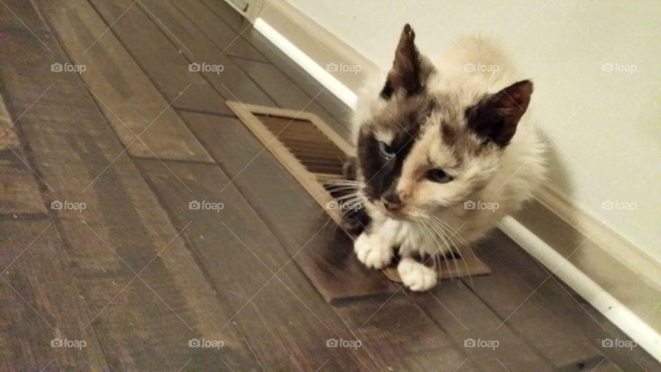 Kitty Cat . My Siamese Cat
