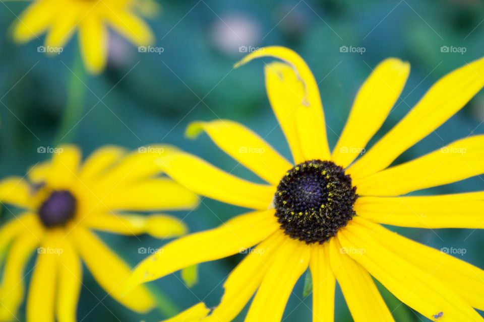 Close-up of yellow rudbeckia flower