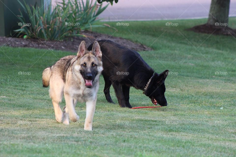German Shepherd brothers playing in the yard together.