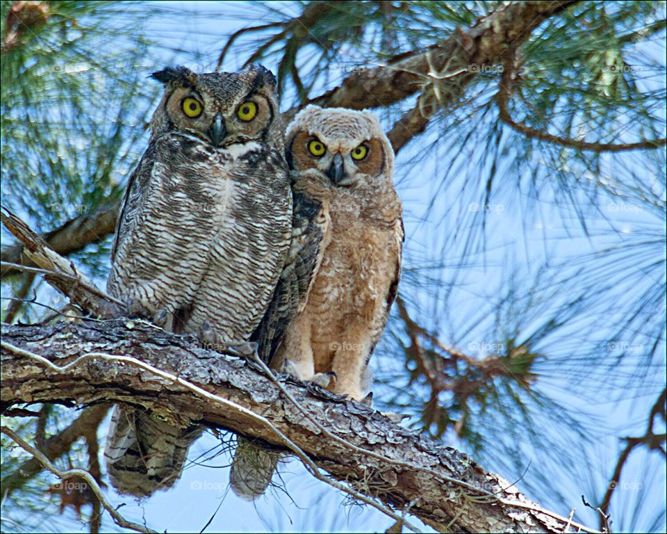 Beautiful Great Horned Owl and Owlet snuggled together in the pine forest.