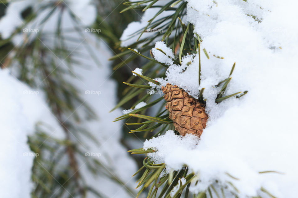 pine cone on a pine tree in winter