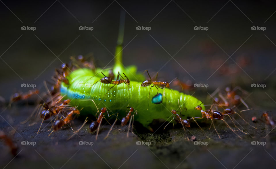 Ants killing caterpillar