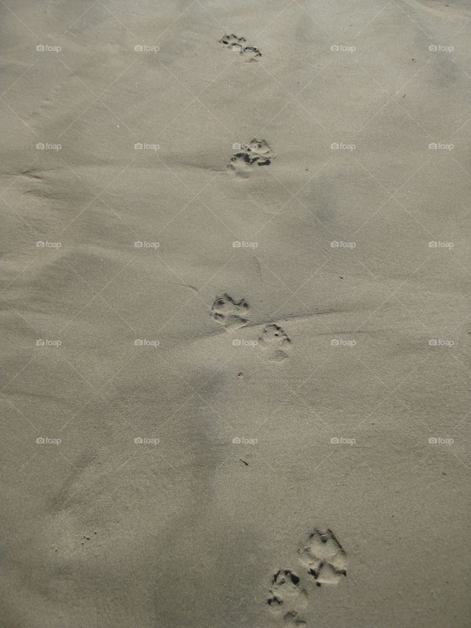 Paw prints in the sand. Nicaragua beach. Following paw prints