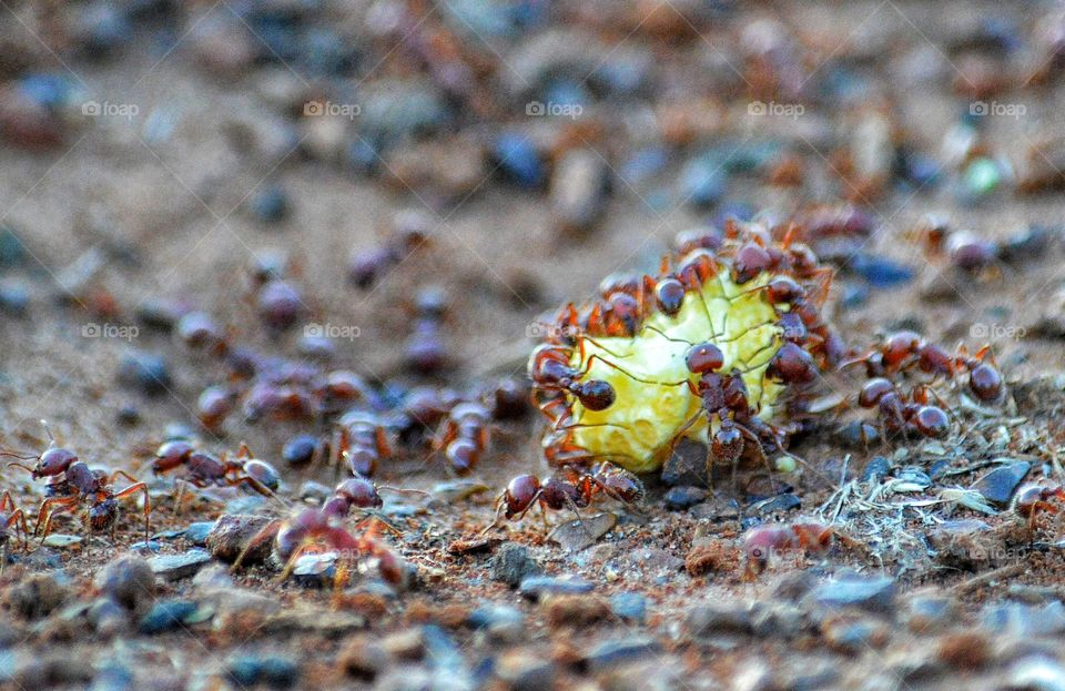 Hard working harvester ants.