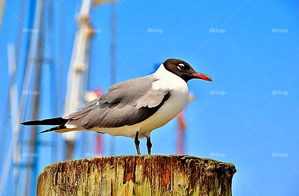Portrait of a Black Headed Gull sitting on a post on a perfect summer's day.