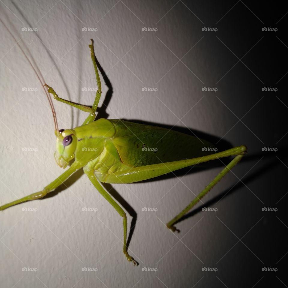 greenish grasshopper!!