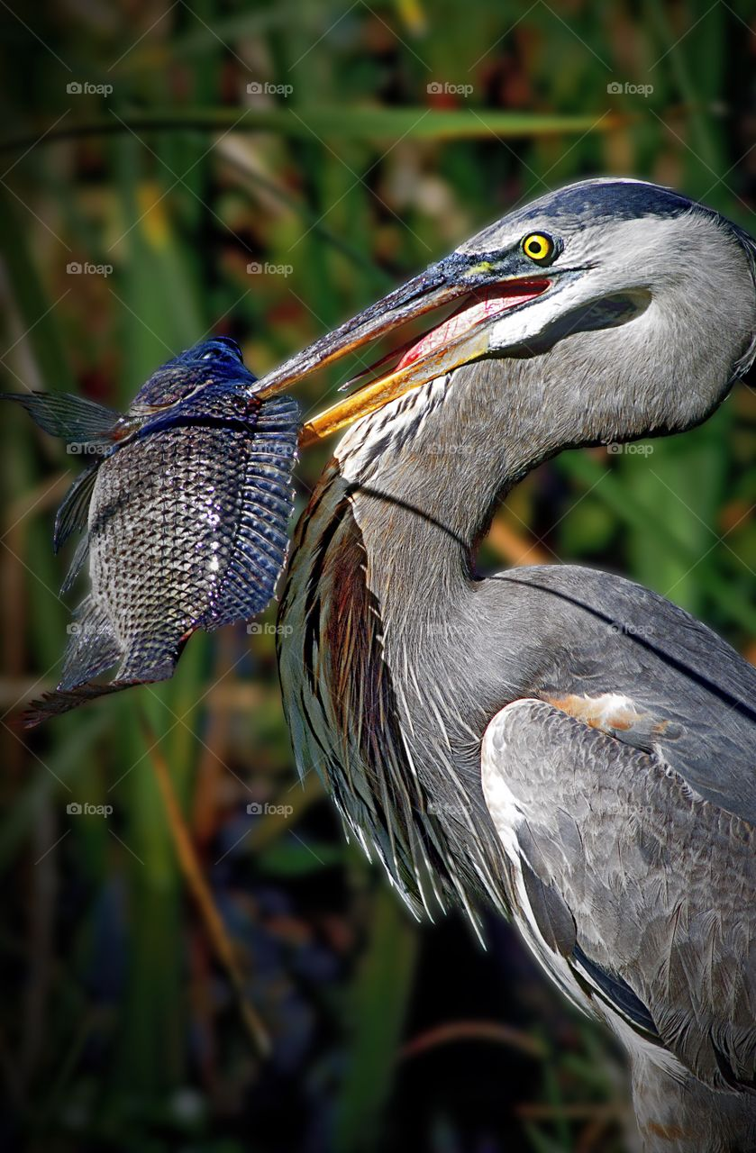 Portrait of a proud Great Blue Heron with his catch.