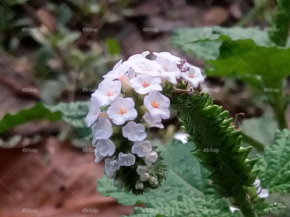 flower 2017/09/28  010   #আমার_চোখে #আমার_গ্রাম #nature #flower #eukaryota #plantae #angiosperms #eudicots