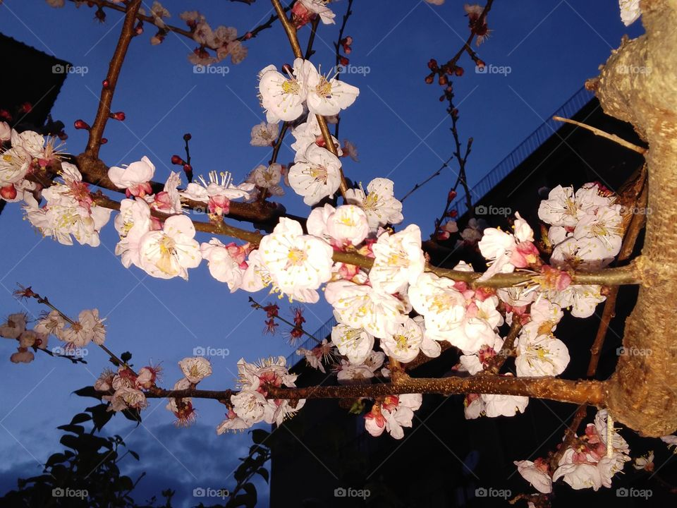 Flower, Cherry, Tree, Branch, Apple