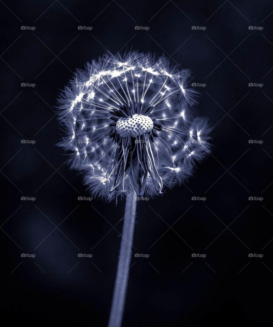 Close-up of a dandelion