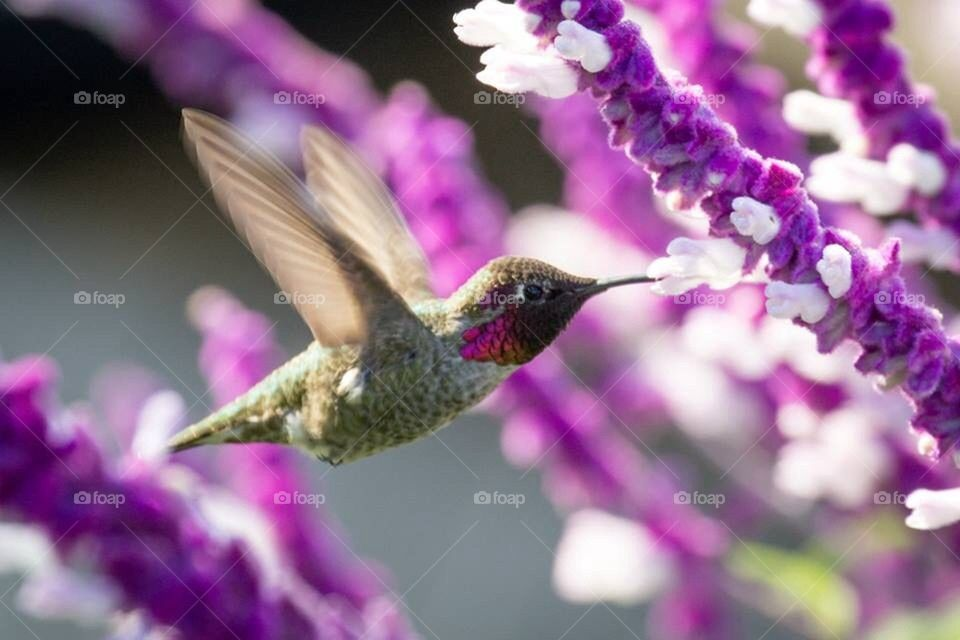 Hummingbird in sage