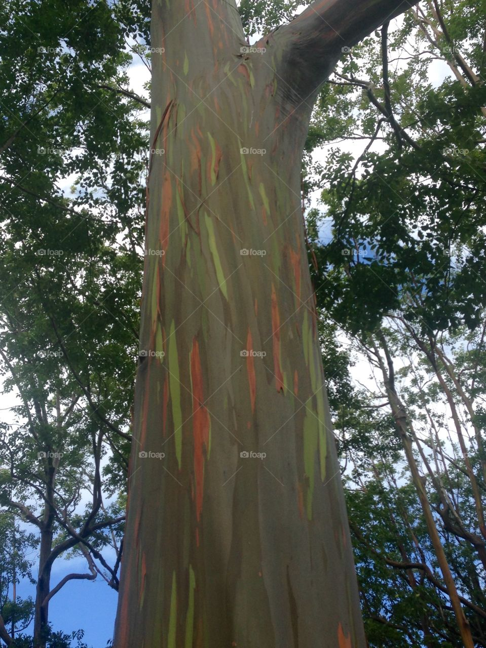 Rainbow tree!. Have you every seen a rainbow tree? A must on Maui.