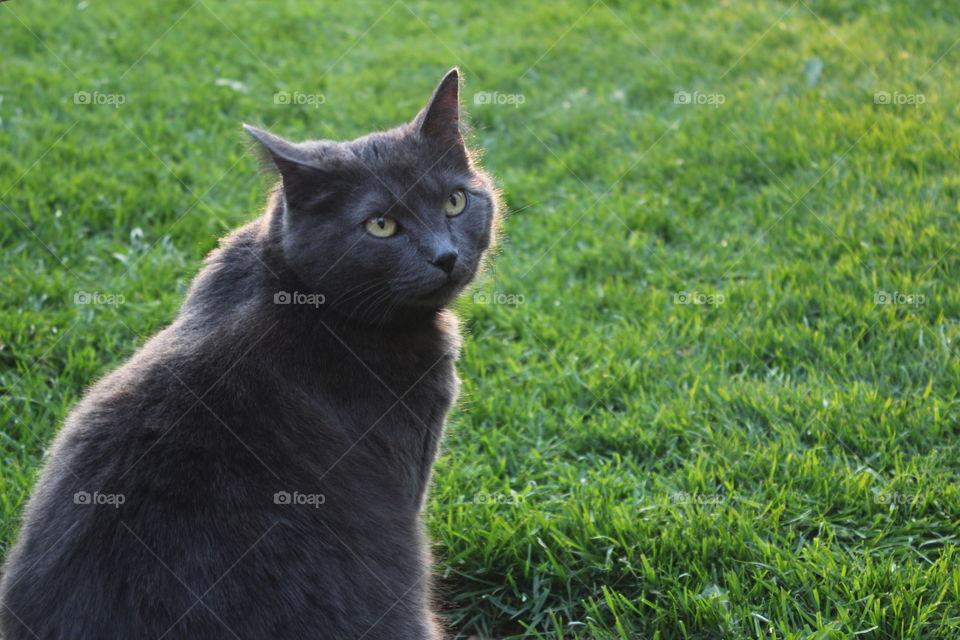 Grey cat on lawn