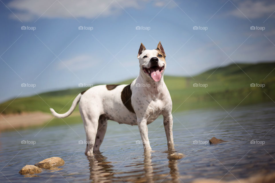Dog stands in the water