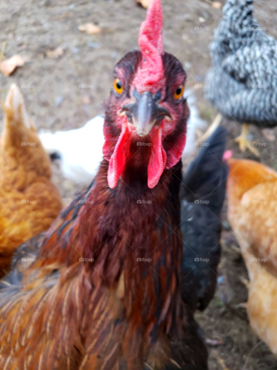 chicken starring at the camera