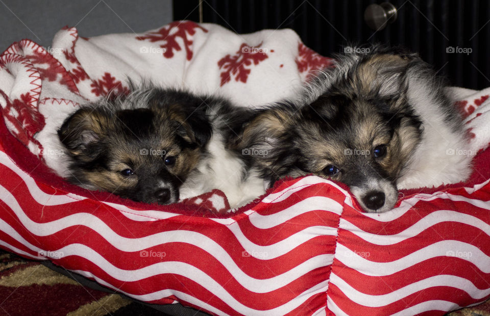 papillion puppies. papillion puppies, lille and Calais relax in their bed