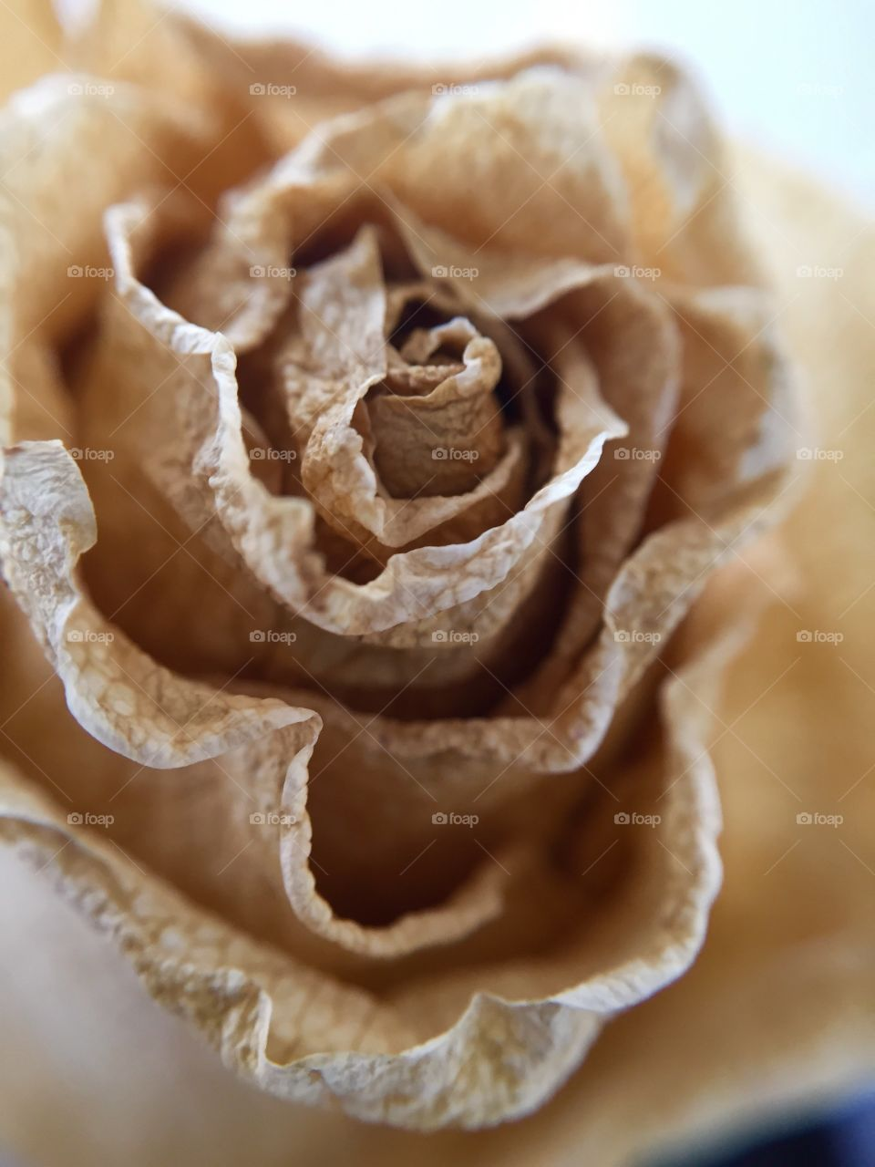 Close-up of dry rose