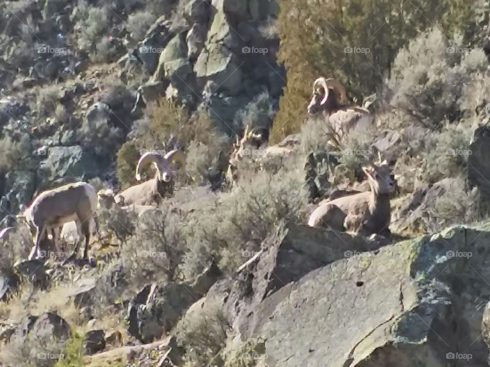 Red River Bighorn Sheep. Beside the road from Questa to Red River in NM, this group of bighorn sheep were grazing.