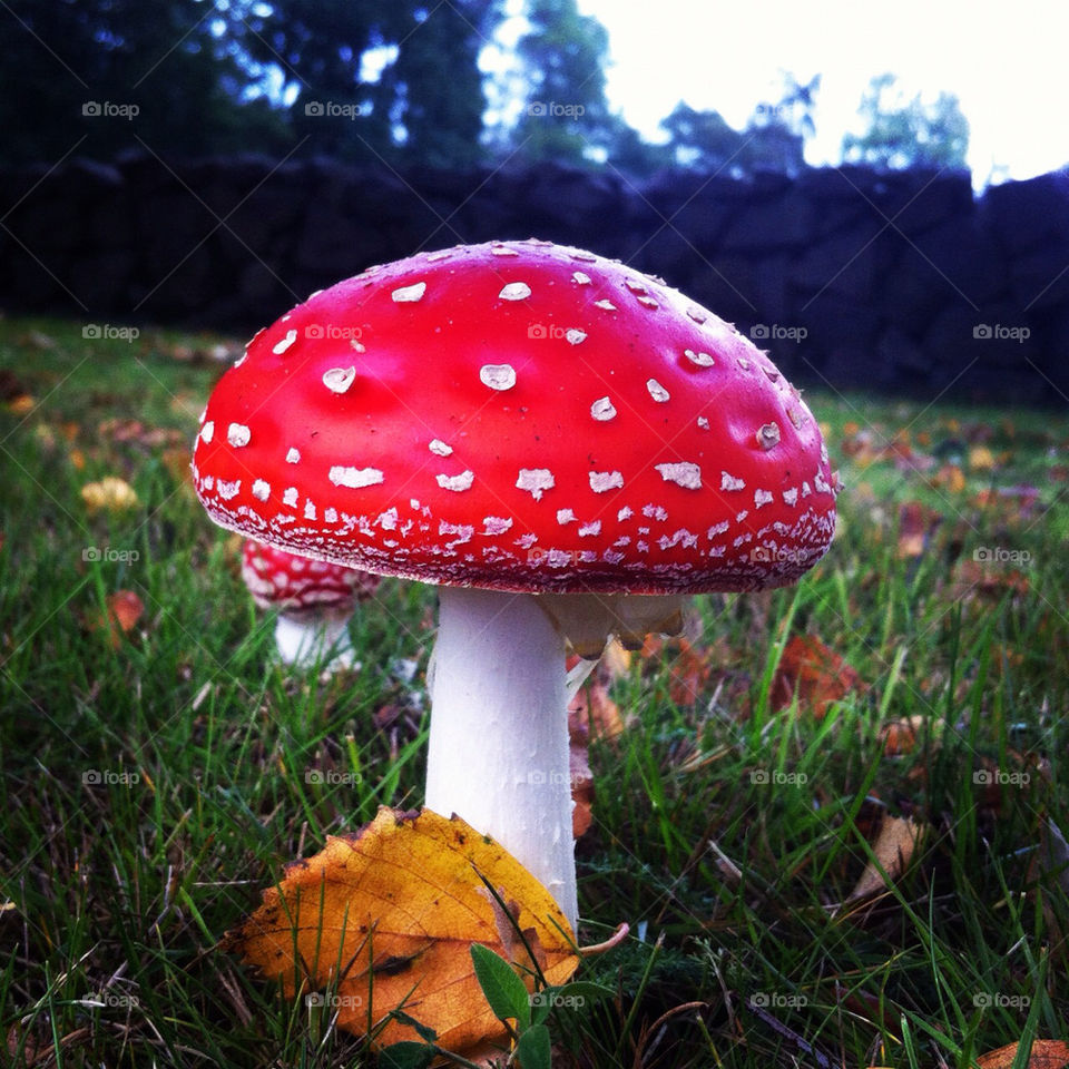 sweden close autumn mushrooms by tomtroell