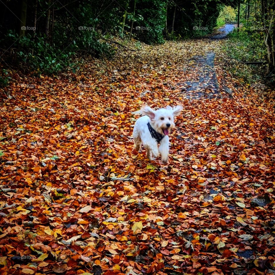 Beautiful apricot cockapoo puppy running through the fallen autumn leaves. Ears flapping in the gentle breeze