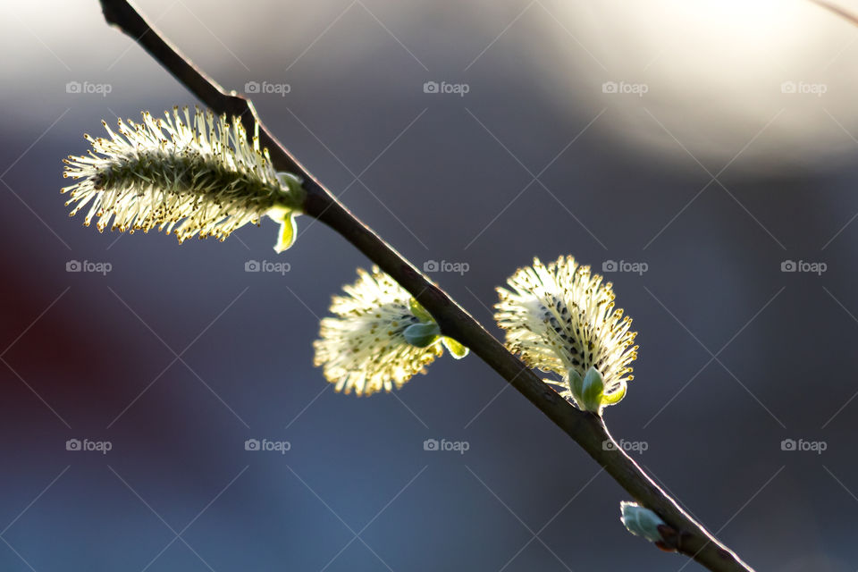 Sun shining on willow catkins in early spring