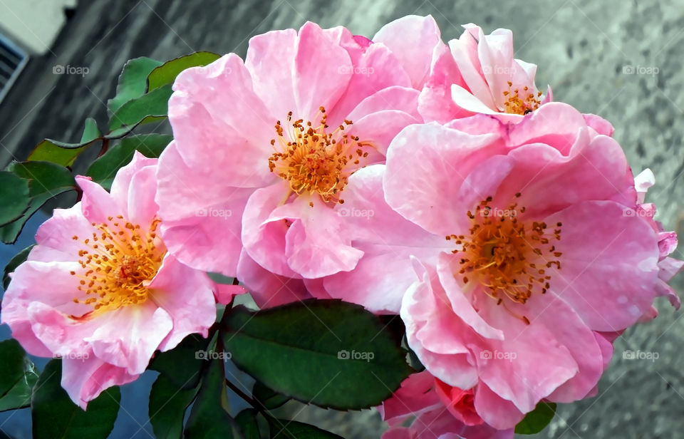 Double Petal Rose