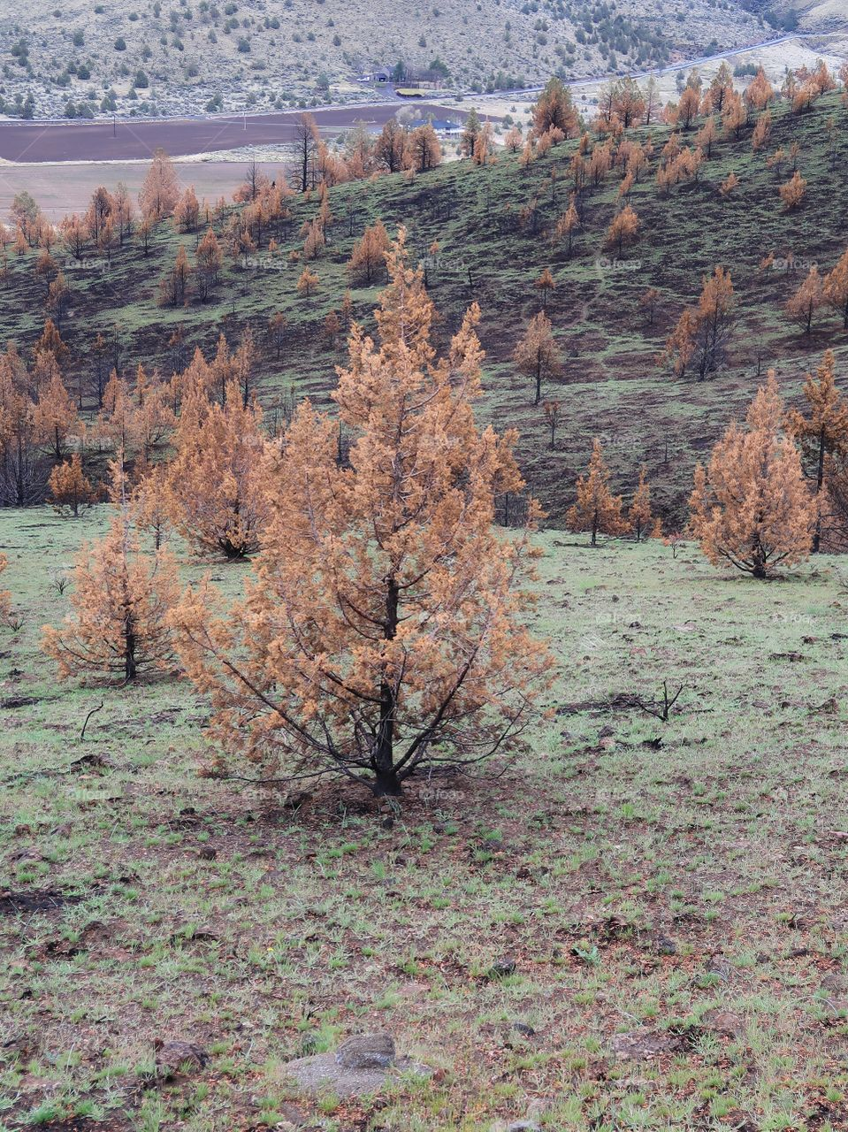 Juniper trees with brown needles and black trunks from a fire a year ago contrast with the bright green grass of spring on the hills above farmland in Central Oregon.