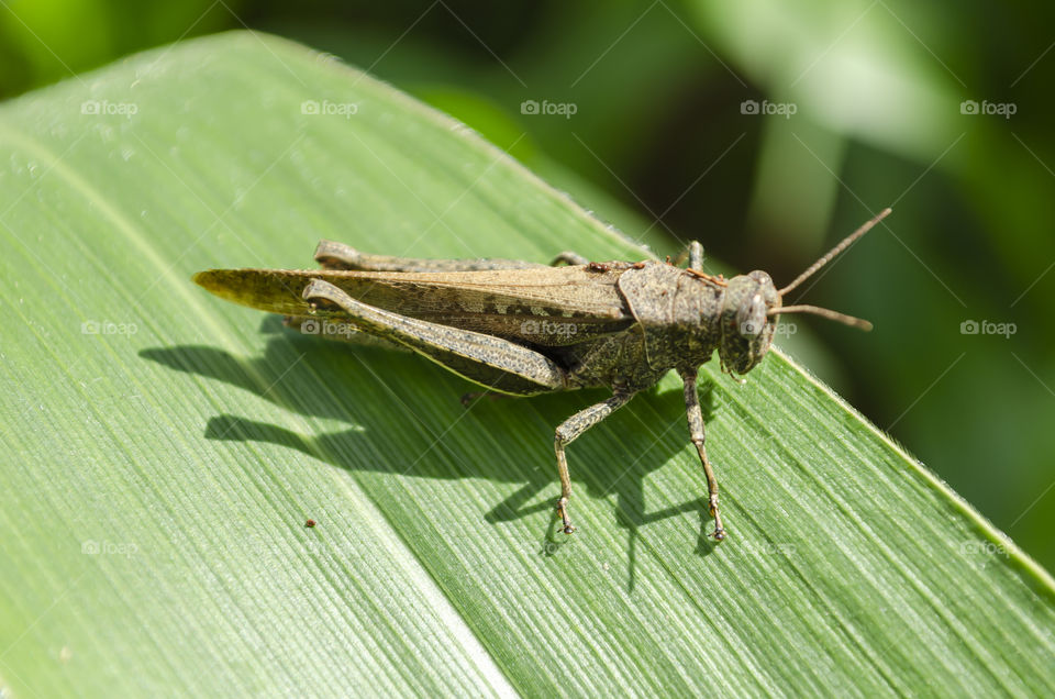 Refous Grasshopper On Corn Leaf