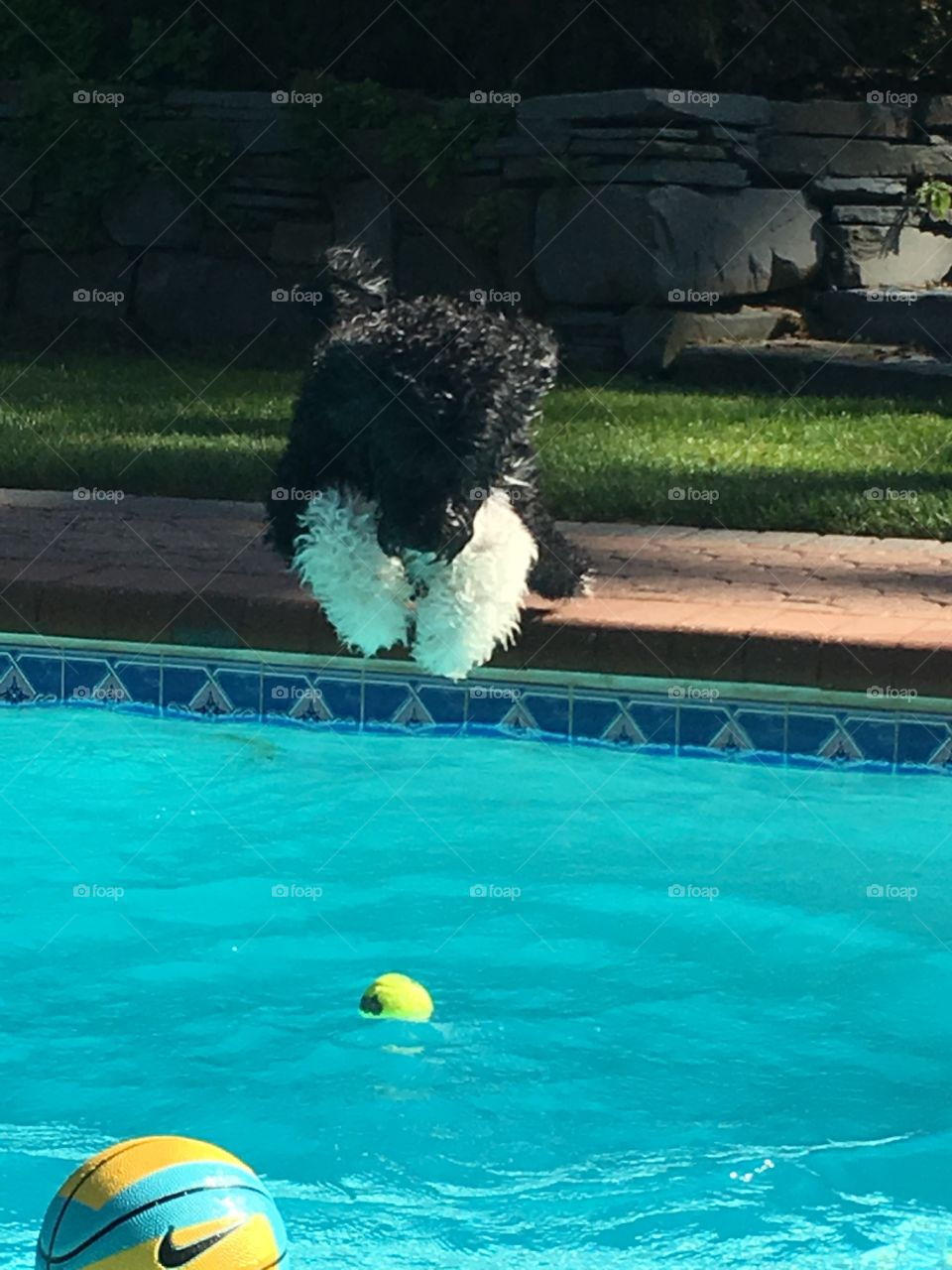 Furry puppy jumping in water Portuguese water dog