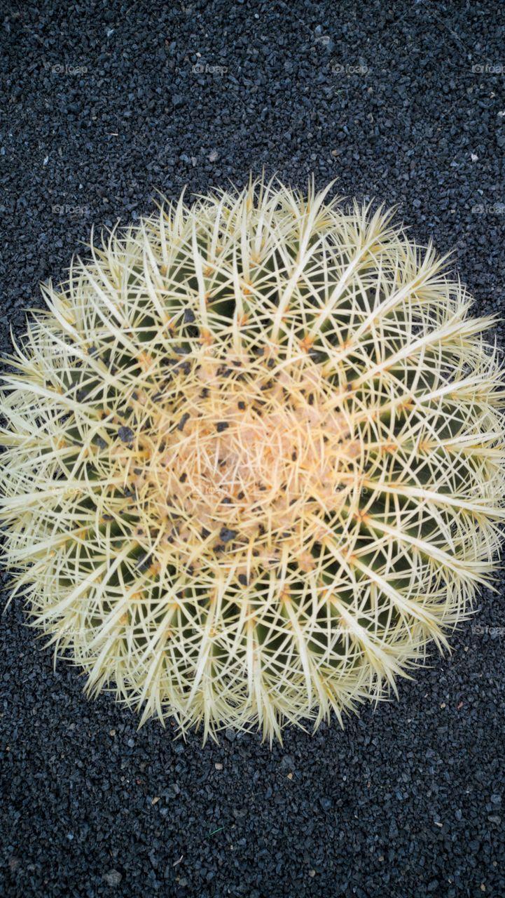 Cactus series