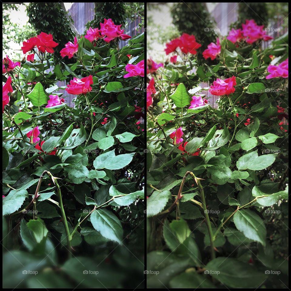 Red Roses - Dewitt Clinton Park, Manhattan, New York City. Instagram,@PennyPeronto