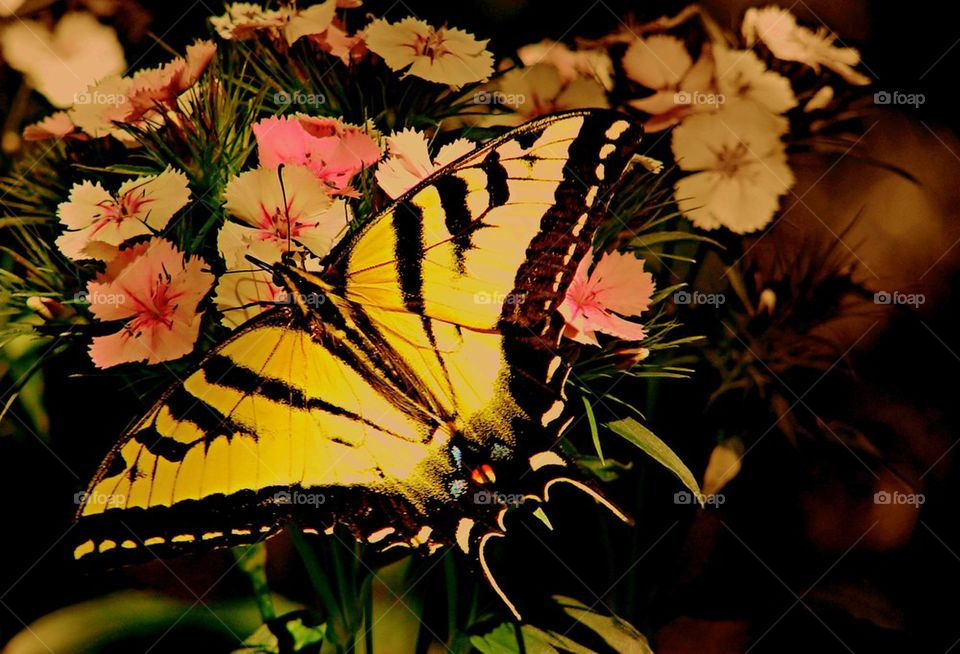 Butterfly yellow swallow tail
