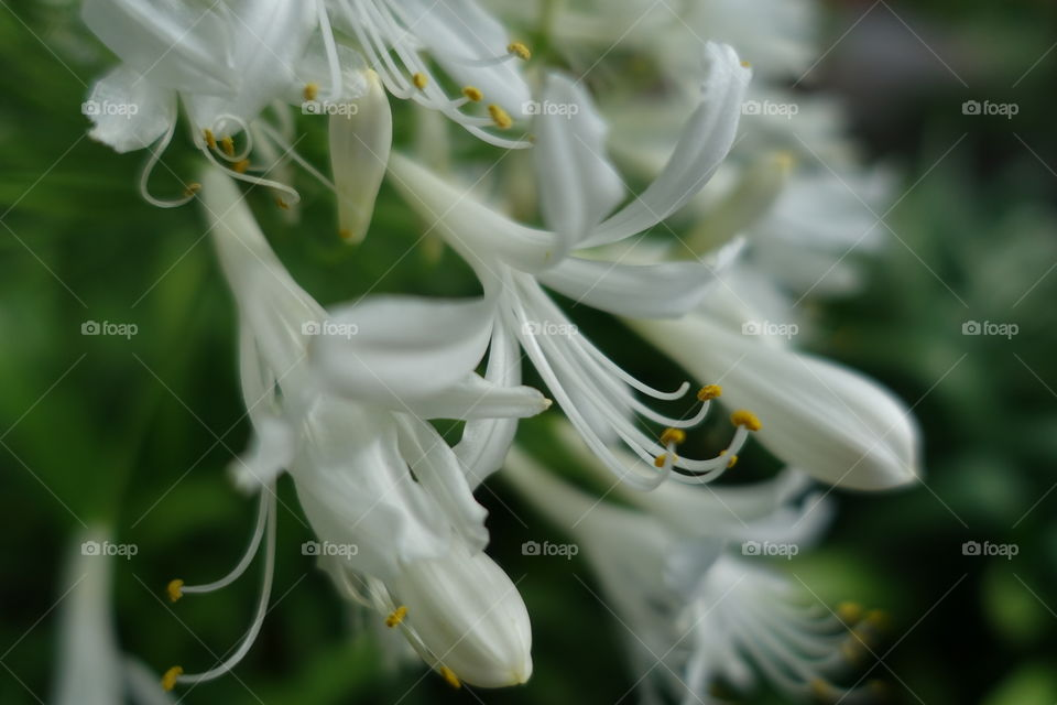 Close-up of white agapanthus