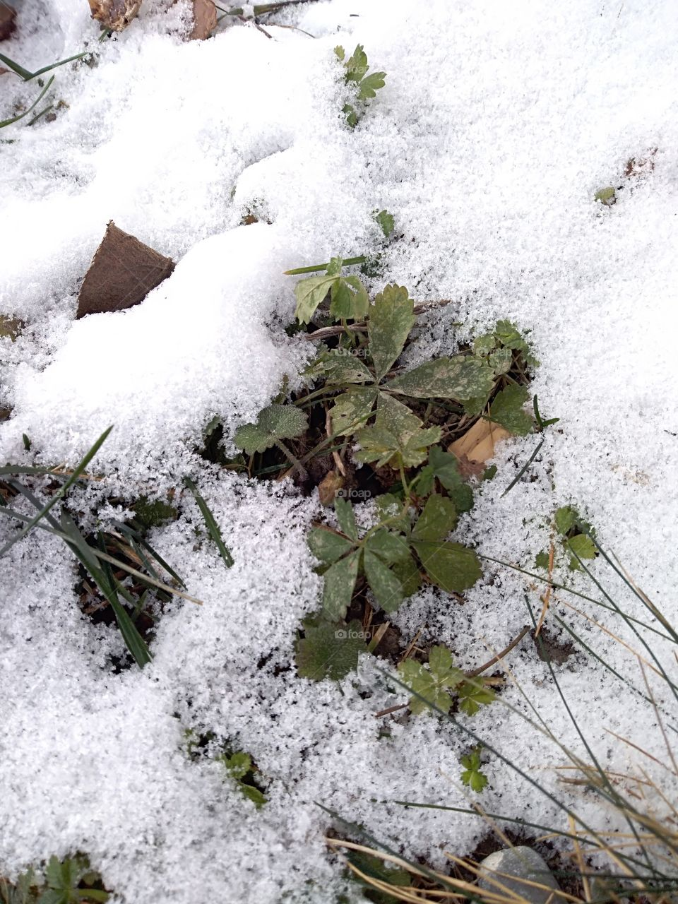 Green plant under snow