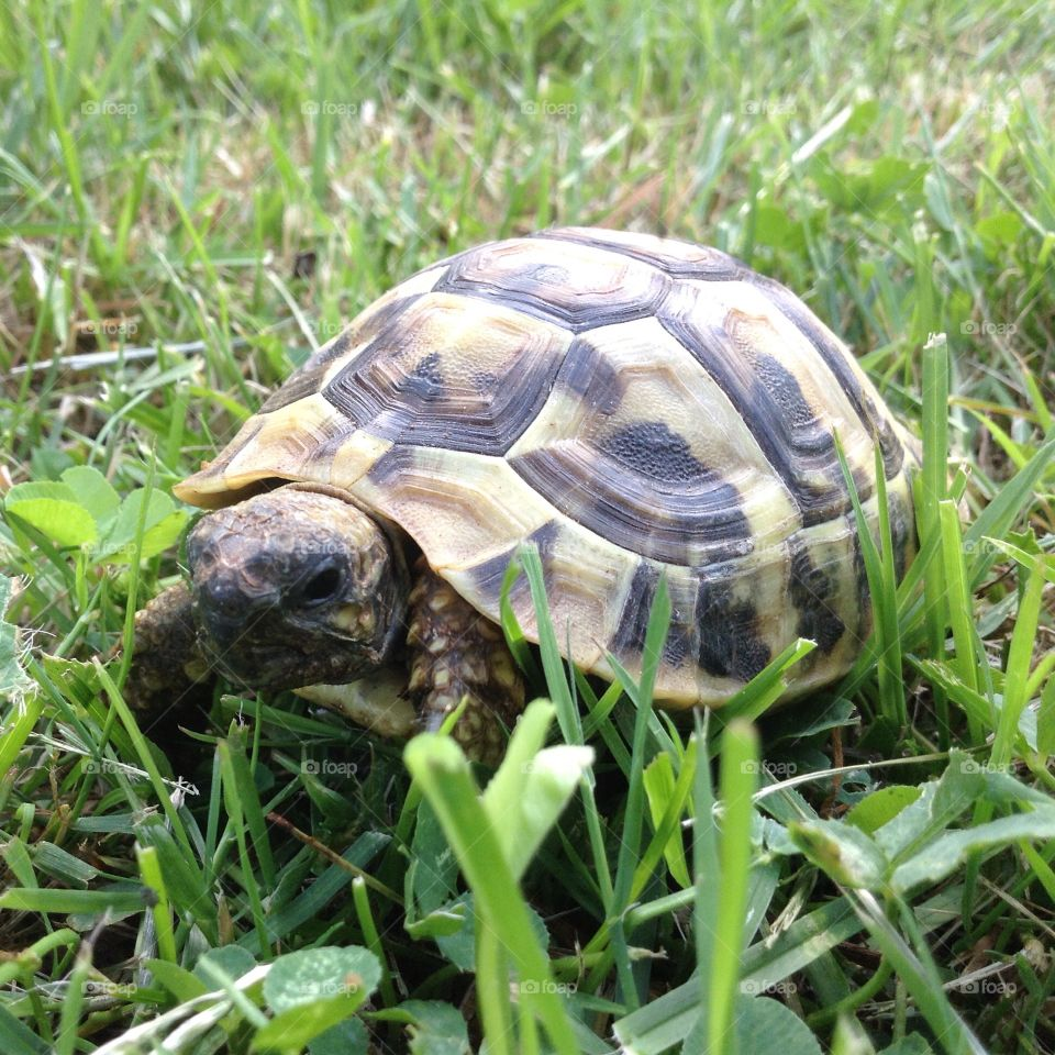 Baby Herman tortoise. This is my baby Herman tortoise, Willow. She's not even a year old yet and easily  fits in the palm of my hand.