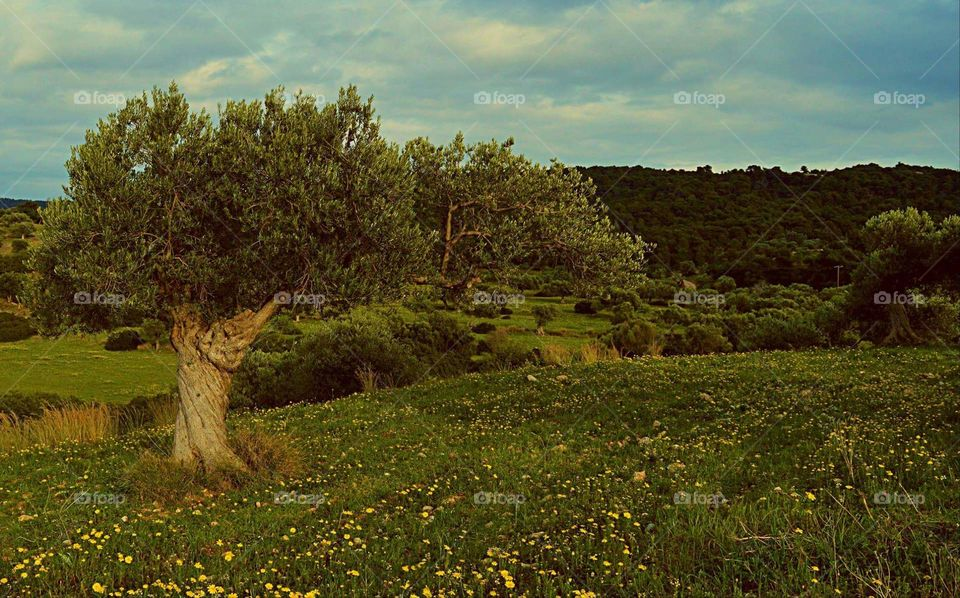 olive tree Greece photography Sun sunny spring