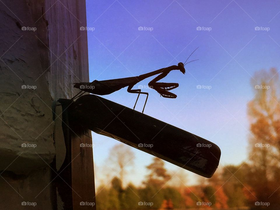 A Mantis' View. A praying mantis enjoys his view of a the fall colors of the meadow