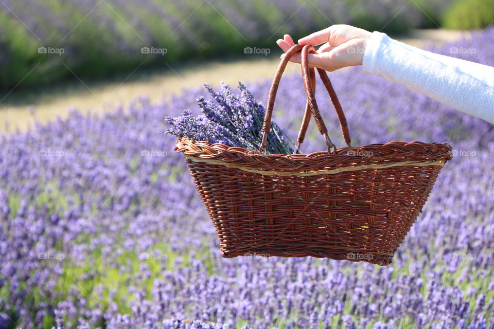 Summertime and lavender is bloomed and ready for pickup- as this woman is showing her beautiful harvest in her basket
