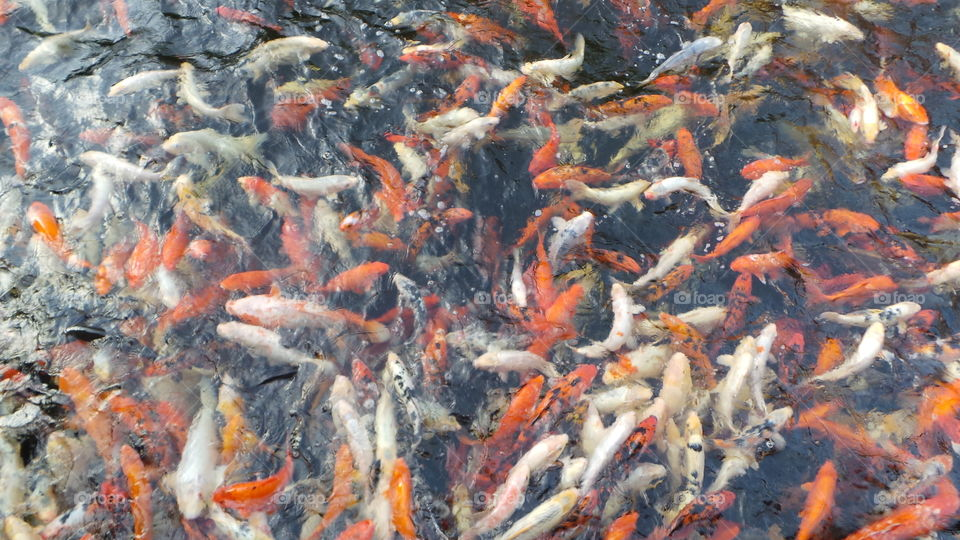 a spectacle to be seen. hungry  koi carp  crowding together at feeding time.